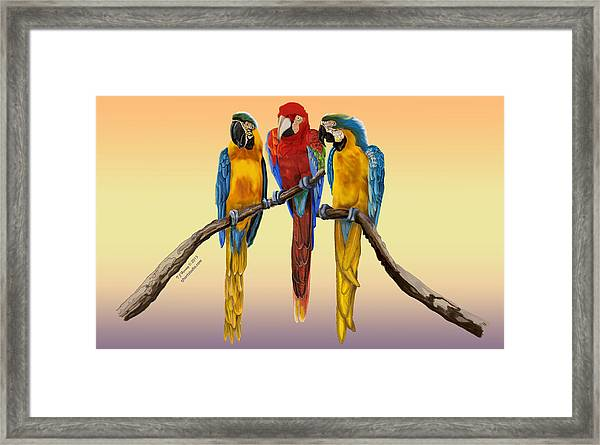 Three Macaws Hanging Out Framed Print