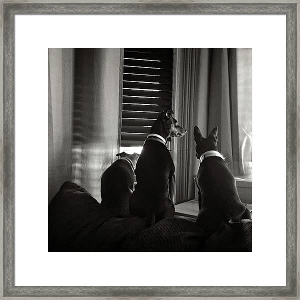 Three Min Pin Dogs Framed Print