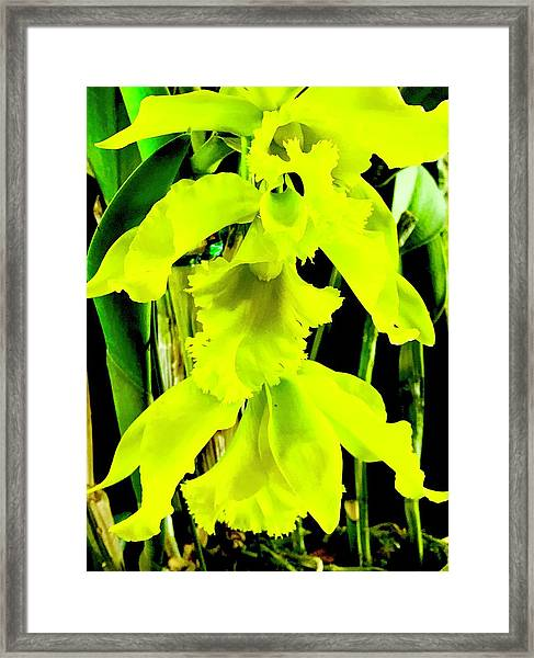 Three Orchids In Yellow Framed Print