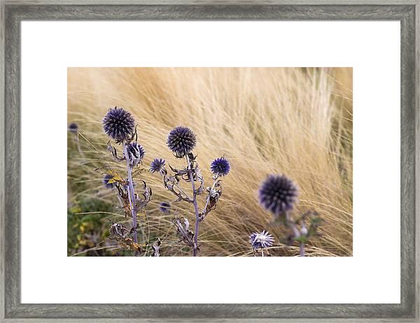 Three Purple Echinops Framed Print