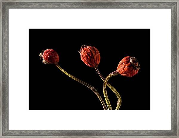 Three Rose Hips Framed Print