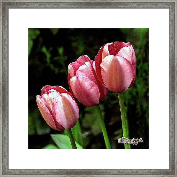 Framed Print featuring the photograph Three Tulips by William Havle