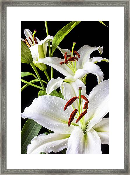 Three White Lilies Framed Print
