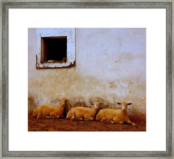 Three Wise Sheep Framed Print by Maggie McLaughlin