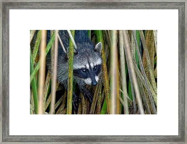 Through The Reeds - Raccoon Framed Print