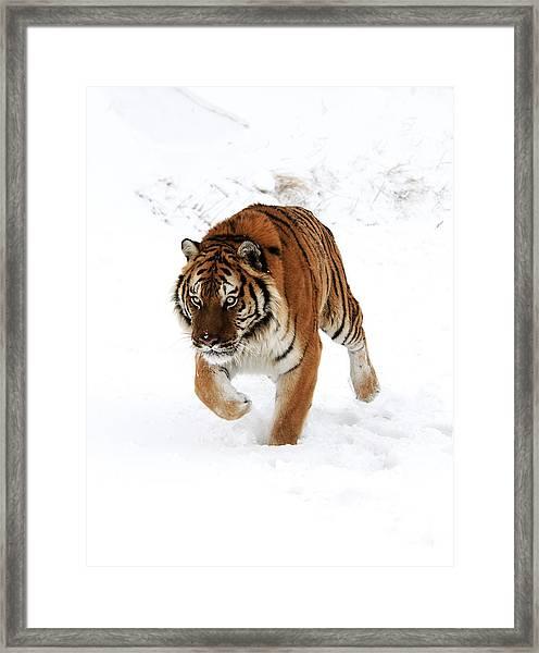 Tiger In Snow Framed Print