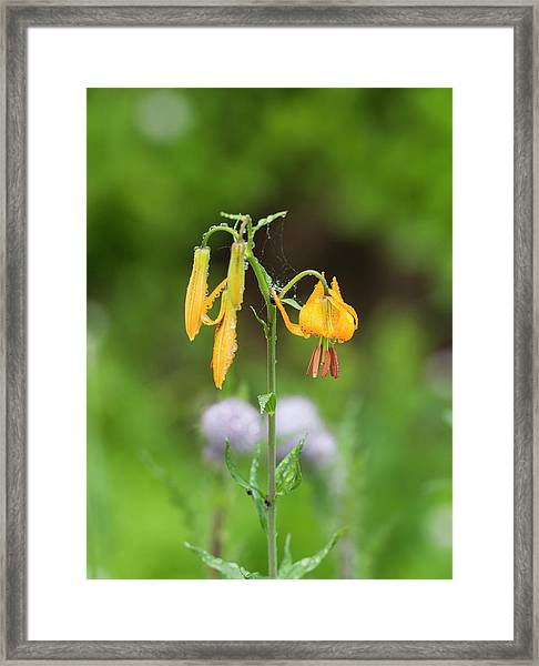 Tiger Lily In Olympic National Park Framed Print