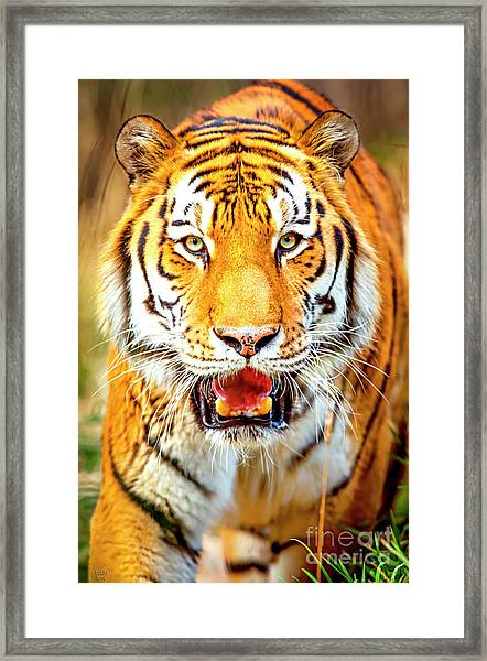 Tiger On The Hunt Framed Print