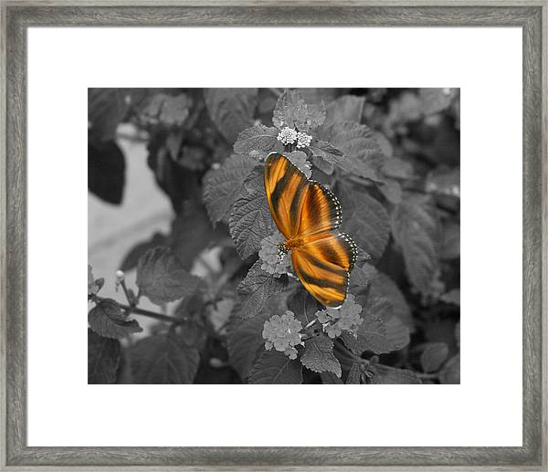 Tiger On The Wing 1 Colorized Framed Print