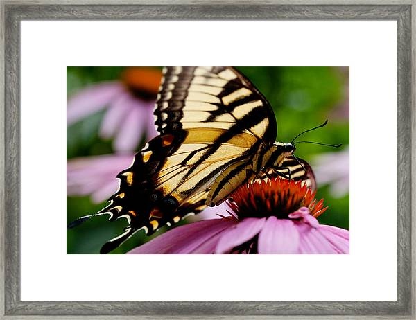 Tiger Swallowtail Butterfly On Coneflower Framed Print
