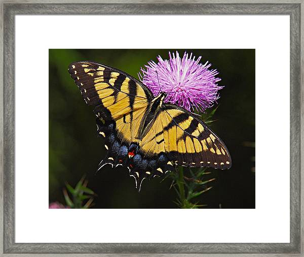 Framed Print featuring the photograph Tiger Swallowtail by William Jobes