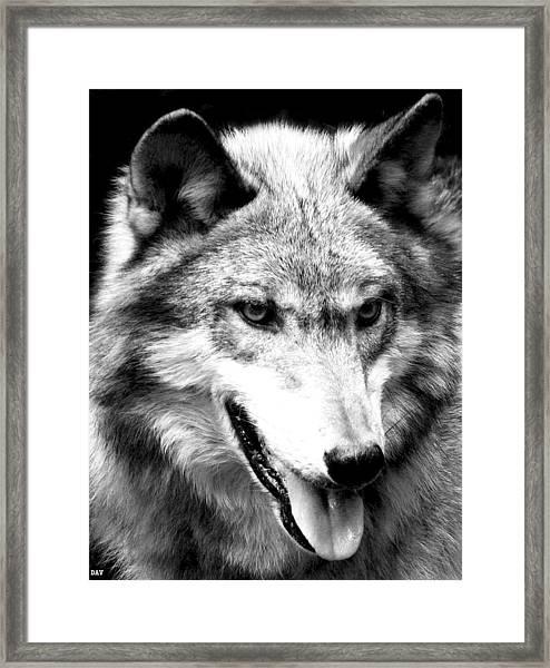 Timber Wolf Framed Print by Debra     Vatalaro