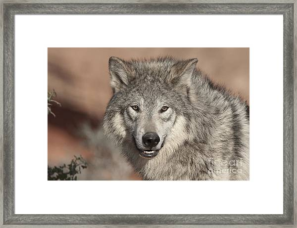 Timber Wolf Portrait Framed Print
