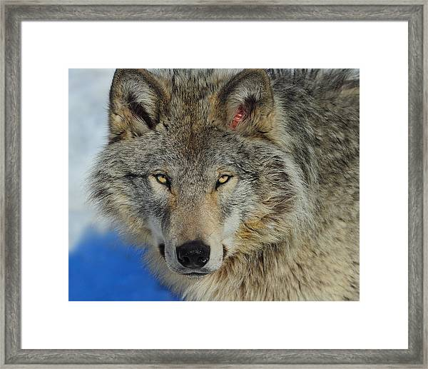 Timber Wolf Portrait Framed Print