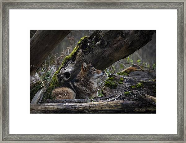 Framed Print featuring the photograph Timber Wolf by Randy Hall