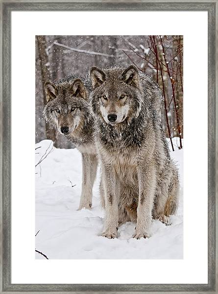Timber Wolves In Winter Framed Print