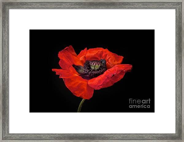 Tiny Dancer Poppy Framed Print