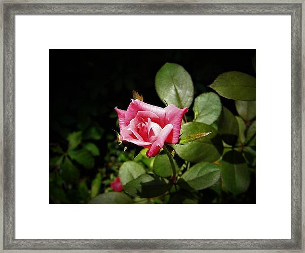 Tiny Rose Framed Print