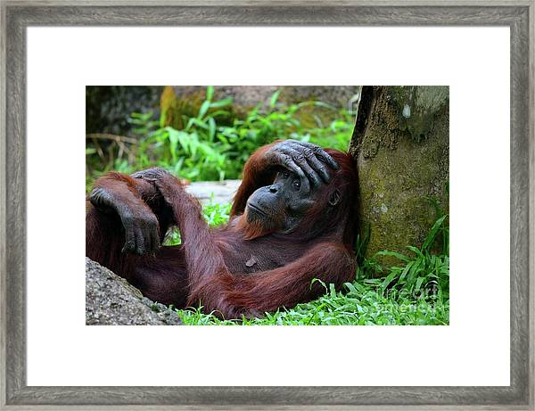 Tired Female Orangutan Ape Rests Against Tree With Hand On Her Head Framed Print