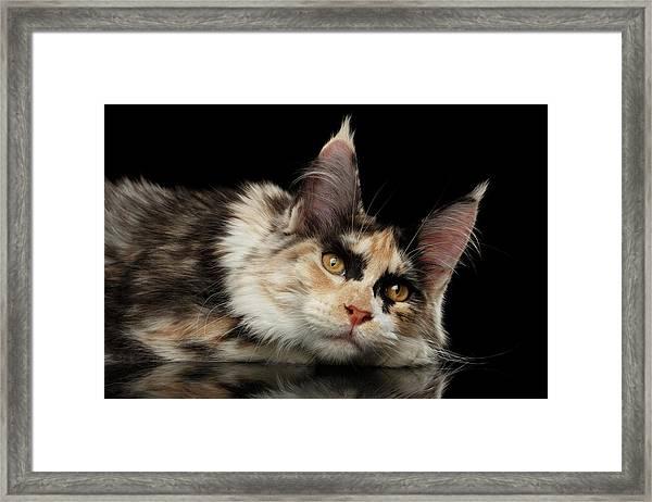 Tired Maine Coon Cat Lie On Black Background Framed Print