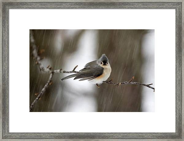 Titmouse During Snow Storm Framed Print