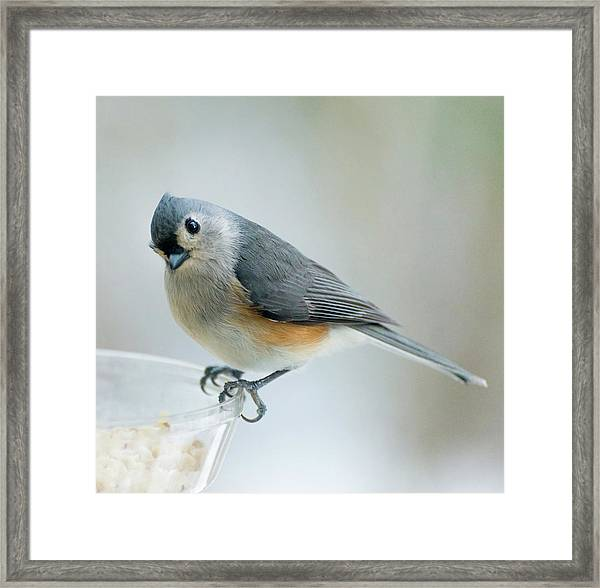 Titmouse With Walnuts Framed Print