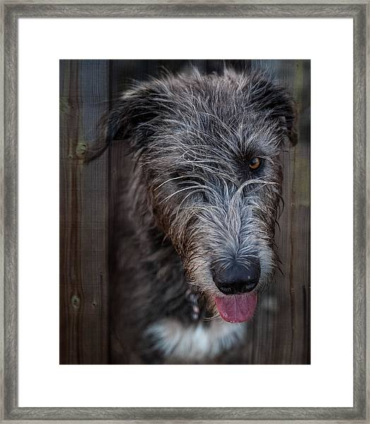 Toby, The Irish Wolfhound Pup Framed Print