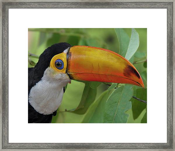Toco Toucan 2 Framed Print