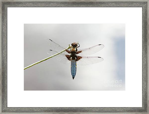 Top Or Dorsal View Of A Single Male Broad-bodied Chaser Dragonfl Framed Print