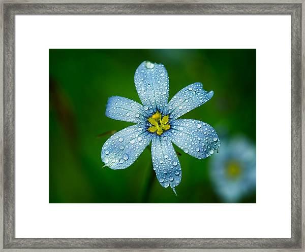 Top View Of A Blue Eyed Grass Flower Framed Print