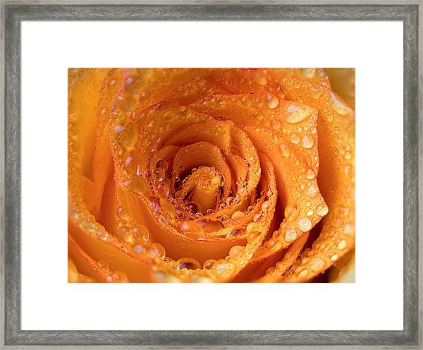 Top View Of An Orange Rose With Droplets Framed Print