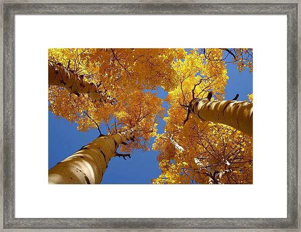 Towering Aspens Framed Print