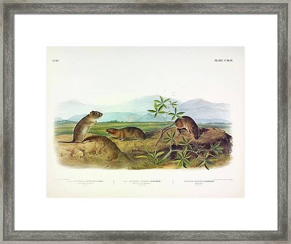 Townsend's Arvicola, Sharp-nosed Arvicola, Bank Rat Framed Print