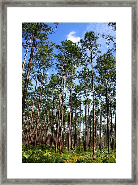 Trail Through The Pine Forest Framed Print