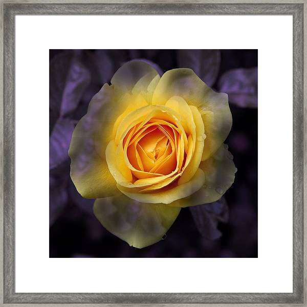Transitional Rose Framed Print