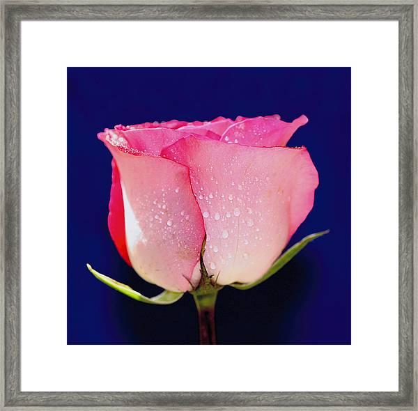 Translucent Rose Framed Print
