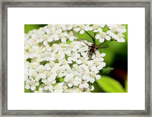Transverse Flower Fly Framed Print