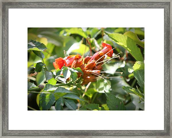 Tropical Trumpet Creeper Framed Print