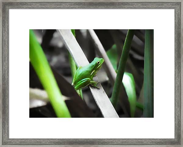 Tree Frog Framed Print