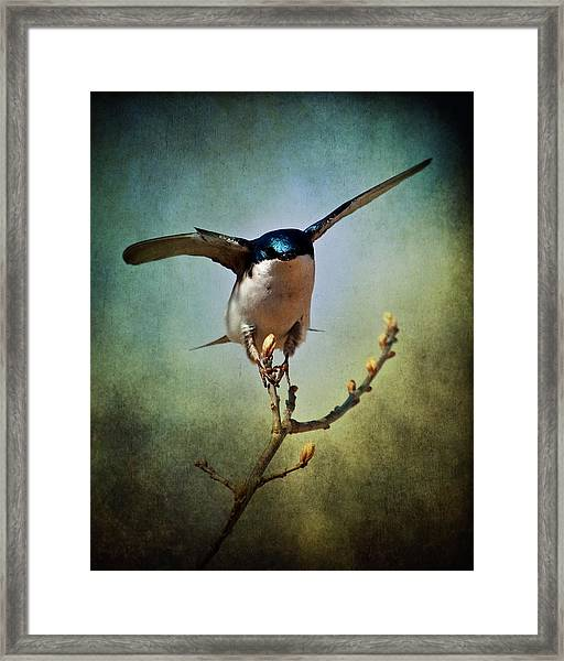 Tree Swallow 2 Framed Print