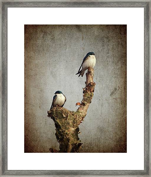 Tree Swallows Framed Print