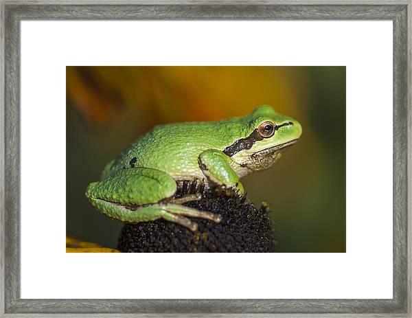 Treefrog On Rudbeckia Framed Print