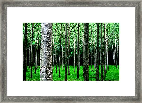 Trees In Rows Framed Print