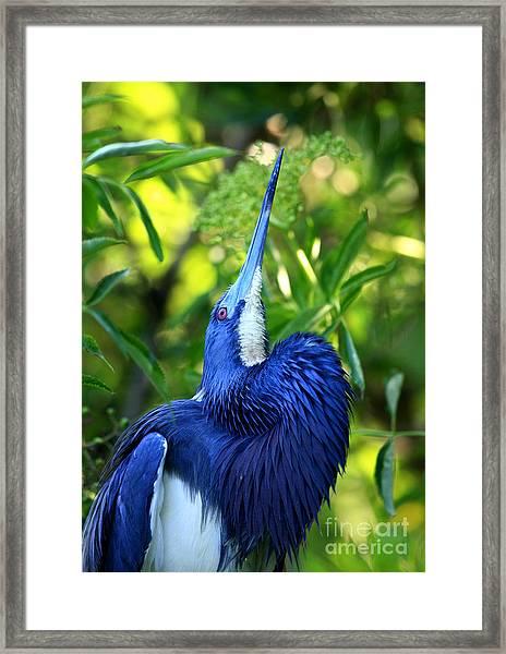 Tri-colored Heron Head Throw Framed Print
