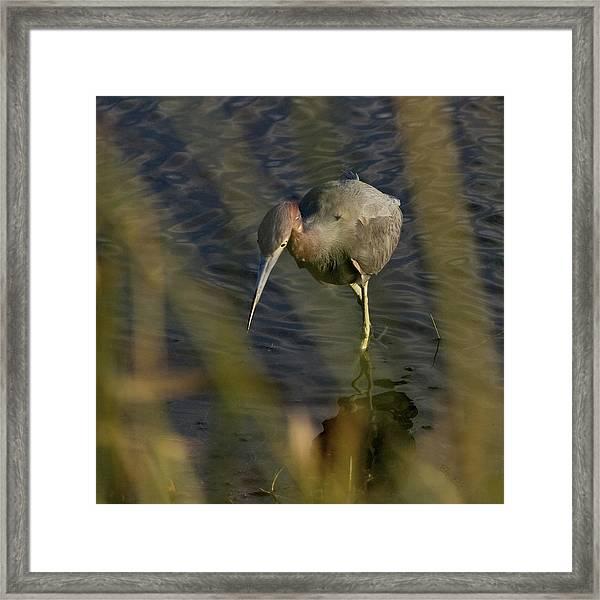 Tri-colored Heron Framed Print by John Ellis