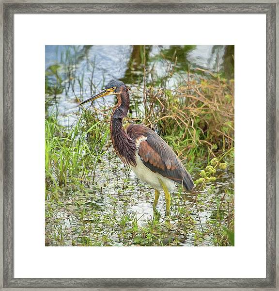 Tri-colored Heron Framed Print