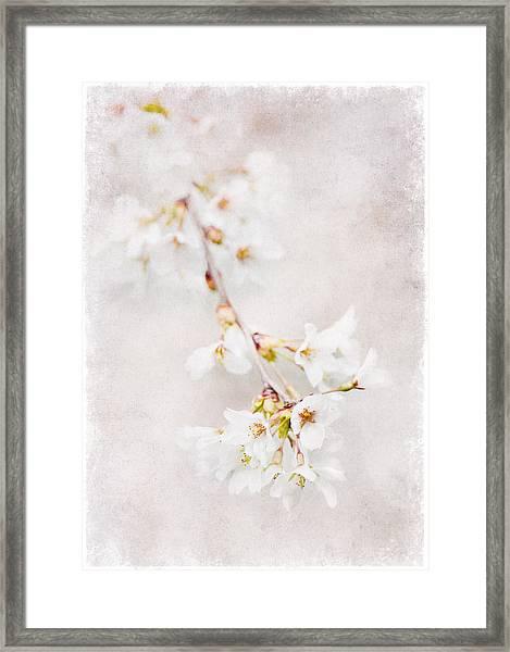 Triadelphia Cherry Blossoms Framed Print
