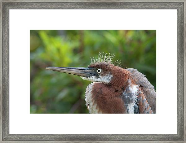 Tricolored Heron - Bad Hair Day Framed Print