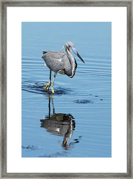 Tricolored Heron Full Tilt Framed Print