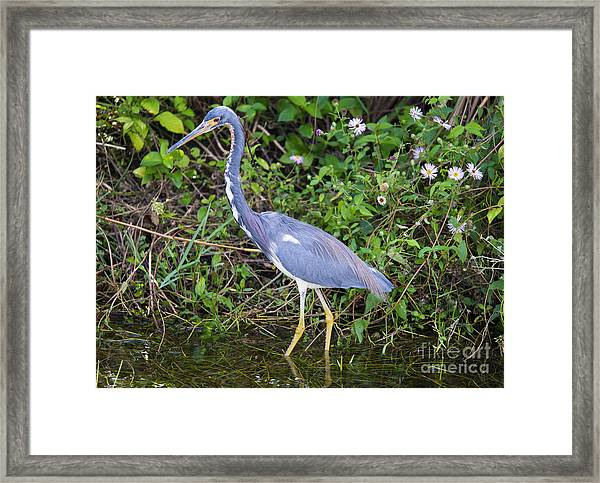 Tricolored Heron Hunting Framed Print